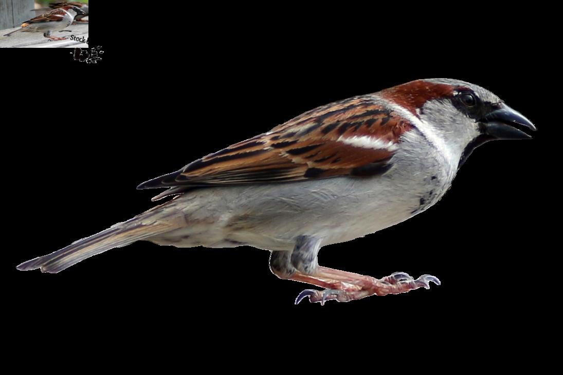 Hdpng - Sparrow, Transparent background PNG HD thumbnail