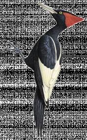 . Hdpng.com ♂ - Woodpecker, Transparent background PNG HD thumbnail