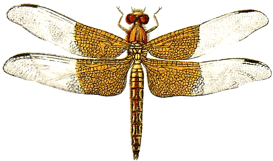 Hdpng - Dragonfly, Transparent background PNG HD thumbnail