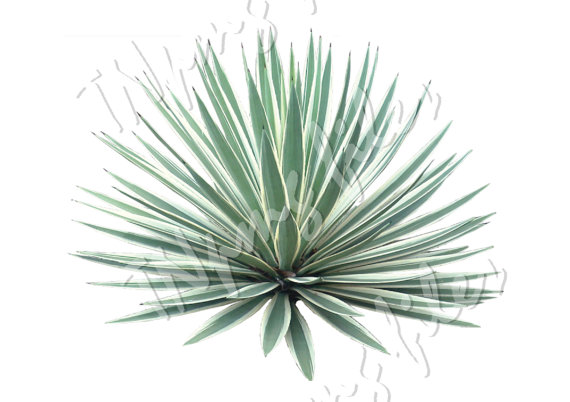 Agave Png Hdpng.com 570 - Agave, Transparent background PNG HD thumbnail
