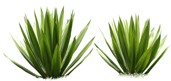 Agave - Agave, Transparent background PNG HD thumbnail