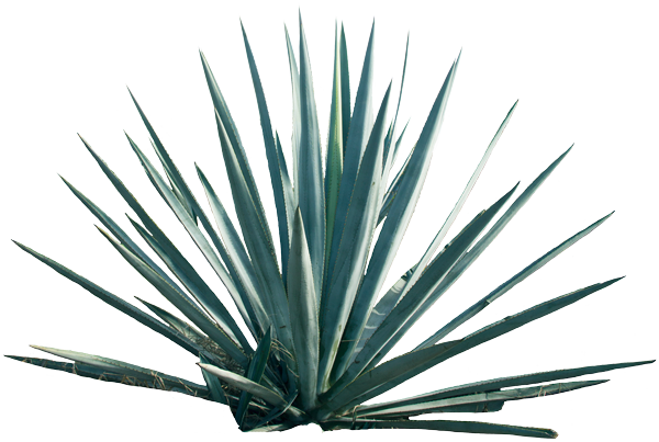 Agave Home - Agave, Transparent background PNG HD thumbnail