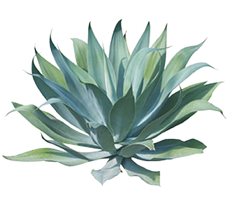 Agave Nectar Is 25% Sweeter Than Refined Sugar With Only Half The Amount Of Carbohydrate Calories. It Is A Low Glycemic Sweetener And Contains Many Vitamins Hdpng.com  - Agave, Transparent background PNG HD thumbnail