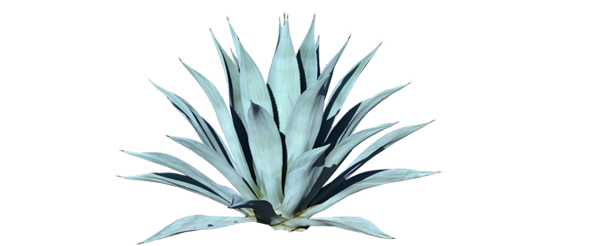 Agave Tequilana - Agave, Transparent background PNG HD thumbnail