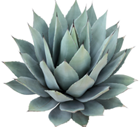 Blue Agave Hdpng.com  - Agave, Transparent background PNG HD thumbnail