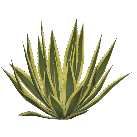File:american Agave (Felipe).png - Agave, Transparent background PNG HD thumbnail
