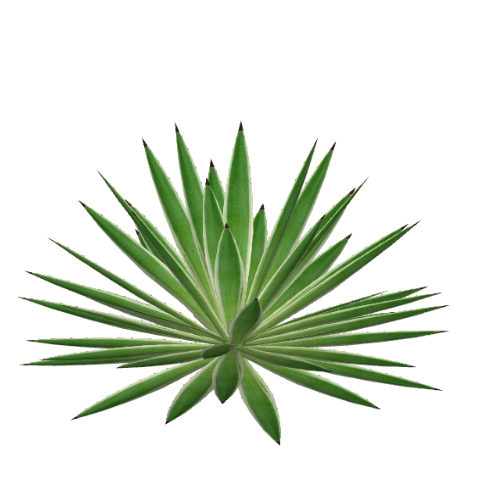 File:variegated Caribbean Agave (Felipe).png - Agave, Transparent background PNG HD thumbnail