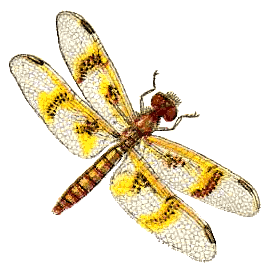 Amber Wing Dragonfly Female   /animals/bugs/d/dragonfly /amber_Wing_Dragonfly_Female.png.html - Dragonfly, Transparent background PNG HD thumbnail
