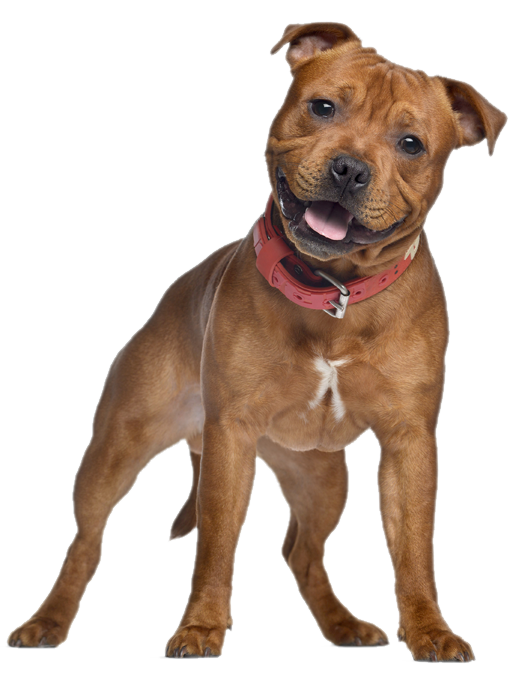 Dog - American Pets, Transparent background PNG HD thumbnail