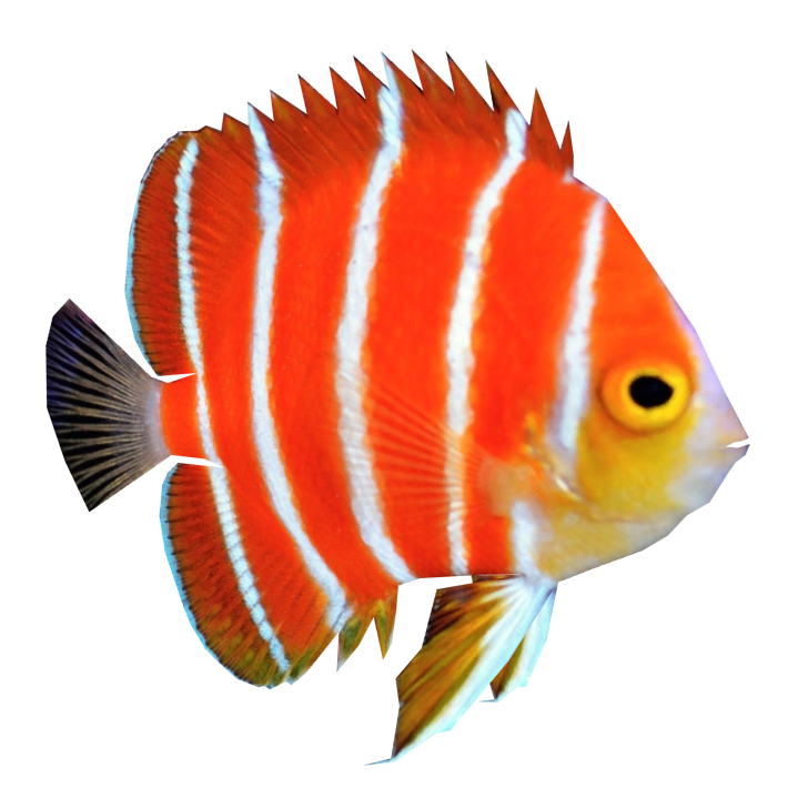 Angel Fish PNG HD