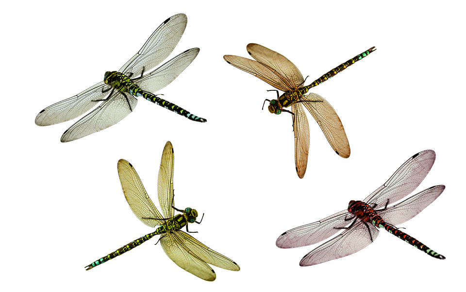 Animal, Dragonfly, Insect, Isolated, Fly, Nature, Close - Dragonfly, Transparent background PNG HD thumbnail