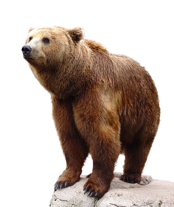 Wild Brown Bear Nature Animal Wildlife Isolated - Animal Fur, Transparent background PNG HD thumbnail