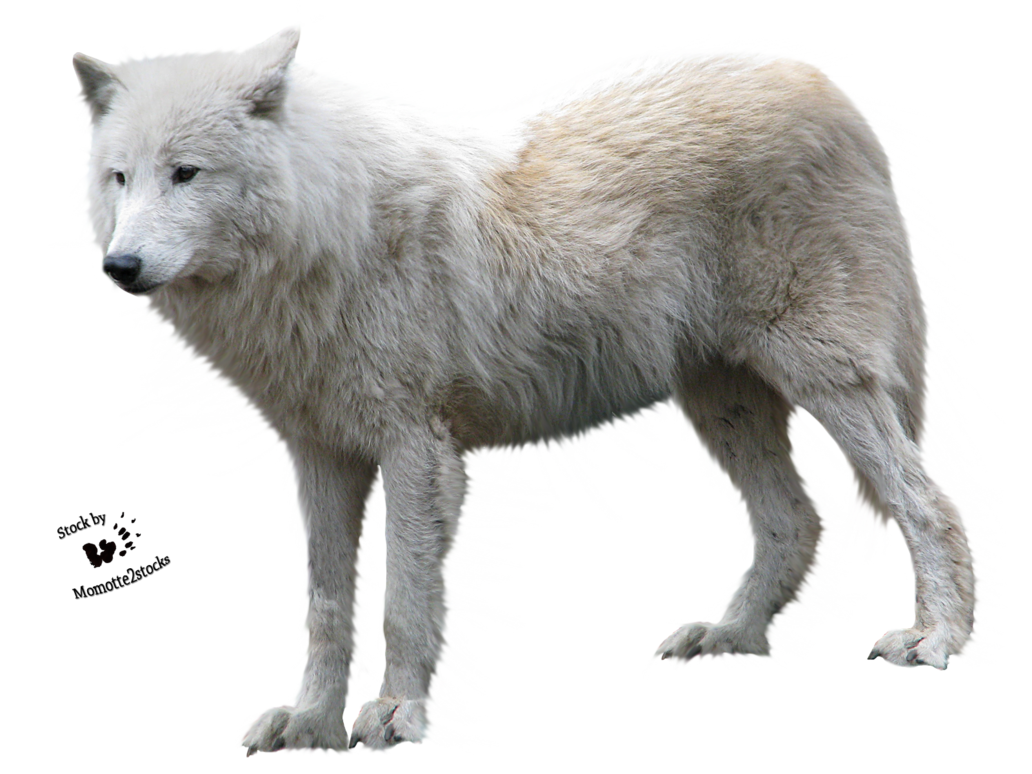 Wolf Png - Animal Fur, Transparent background PNG HD thumbnail