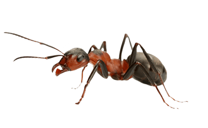 Ant Png - Ant, Transparent background PNG HD thumbnail