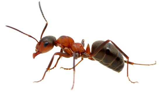 Ant Types - Ant, Transparent background PNG HD thumbnail