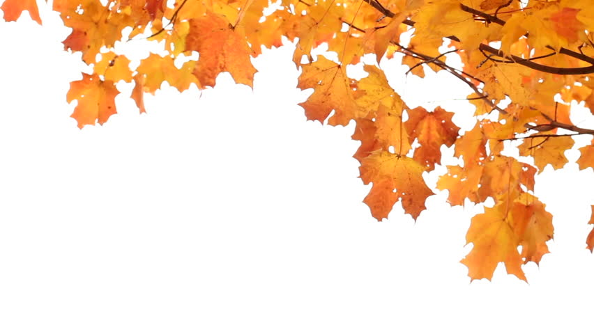 Autumn Leaves Hd Png - Maple Leaves In Autumn Isolated On White. Room For Your Text.   Hd Stock, Transparent background PNG HD thumbnail