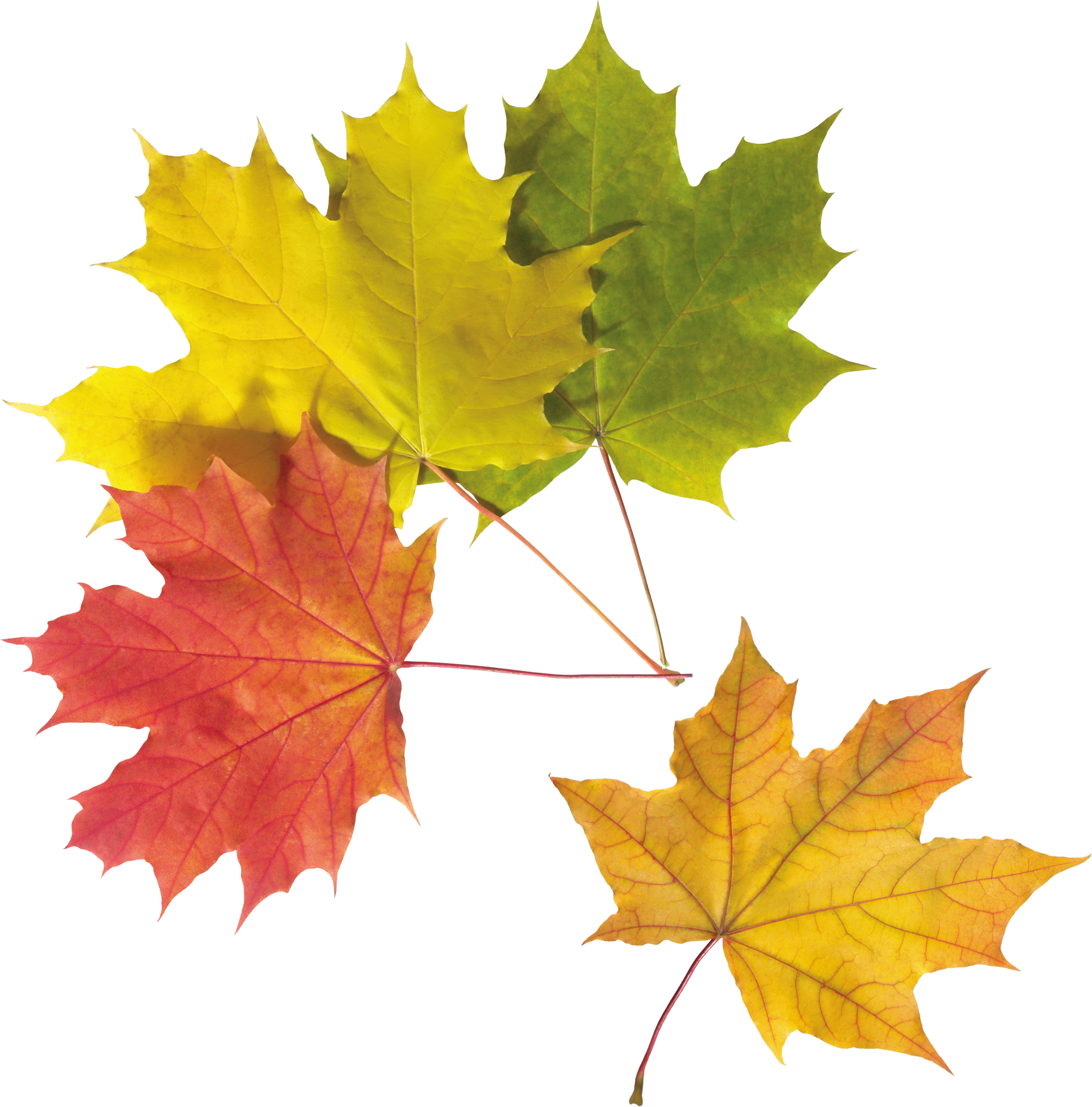 Autumn Png Leaf - Leaves, Transparent background PNG HD thumbnail