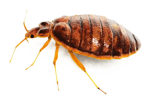 Bed Bug Spray Png - Bugs, Transparent background PNG HD thumbnail