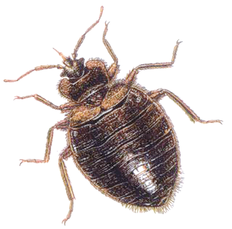 Bed Bugs.png Hdpng.com  - Bugs, Transparent background PNG HD thumbnail