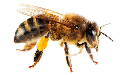 Bee PNG