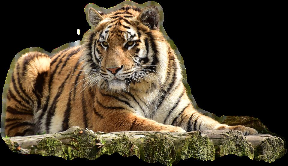 Big Cat Png - Bengaltiger Tiger Big Cat Dangerous Predator Cat, Transparent background PNG HD thumbnail