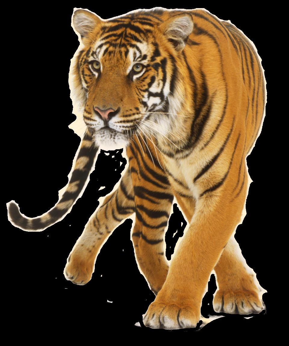 Big Cat Png - Lion U203A Hdpng.com , Transparent background PNG HD thumbnail