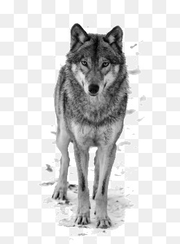 Wolf, White Wolf, Great White Wolf, Snow Wolf Png Image And Clipart - Black And White Wolf, Transparent background PNG HD thumbnail