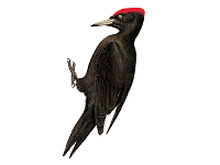 Black Woodpecker (Male) - Woodpecker, Transparent background PNG HD thumbnail