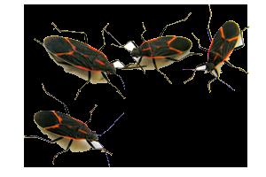 Box Elder Bugs - Bugs, Transparent background PNG HD thumbnail