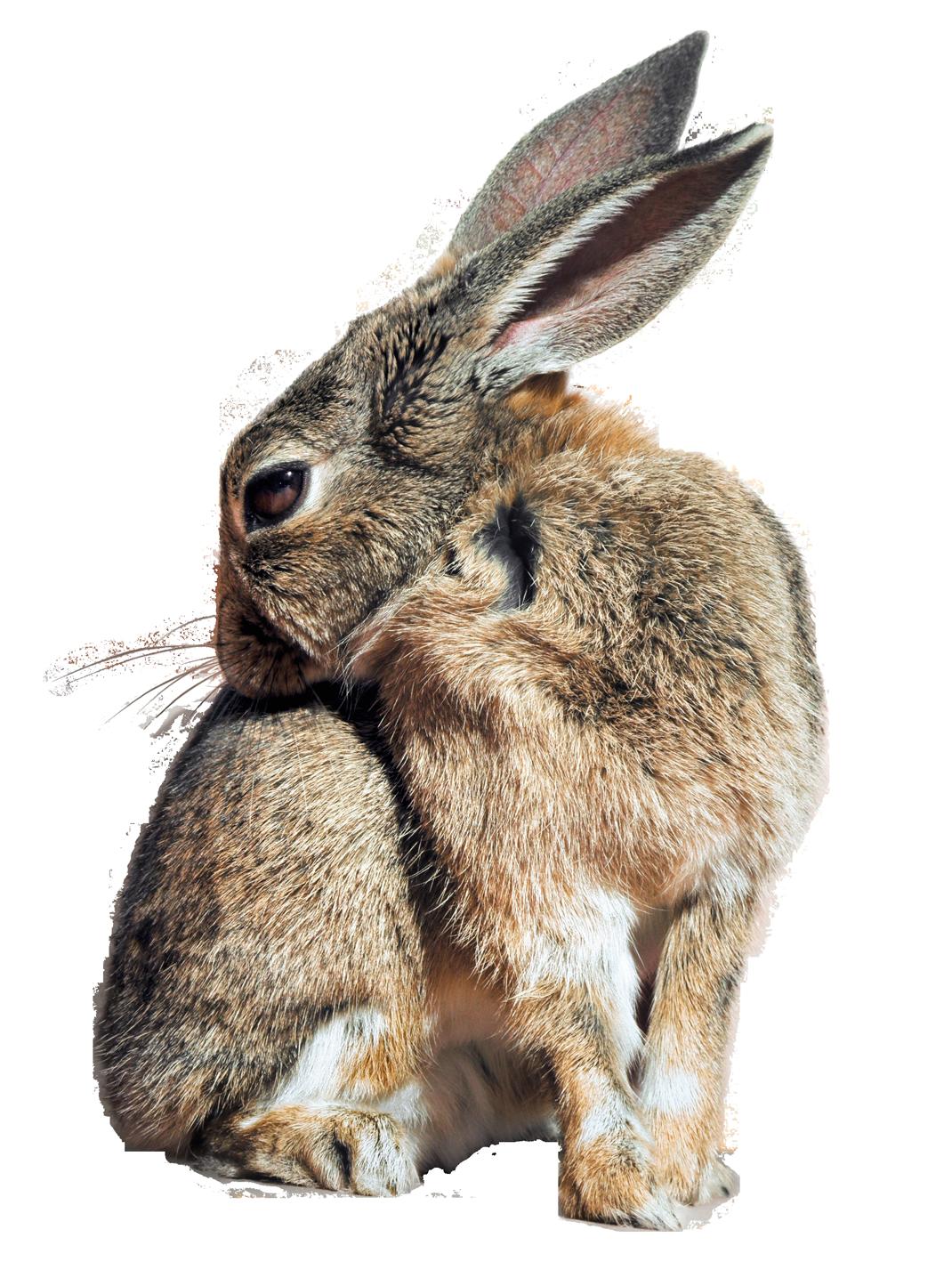 Bunny Rabbit Png Transparent Image - Rabbit, Transparent background PNG HD thumbnail