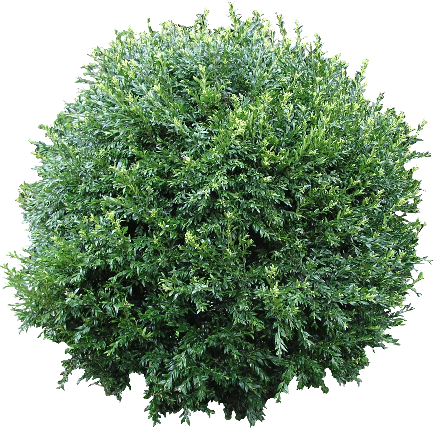 Bush.png (1404×1385) - Shrub Bushes, Transparent background PNG HD thumbnail