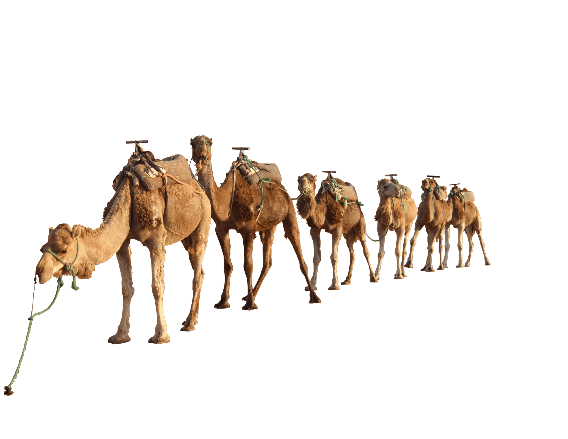 Camels In The Desert Png - Camel Group, Transparent background PNG HD thumbnail