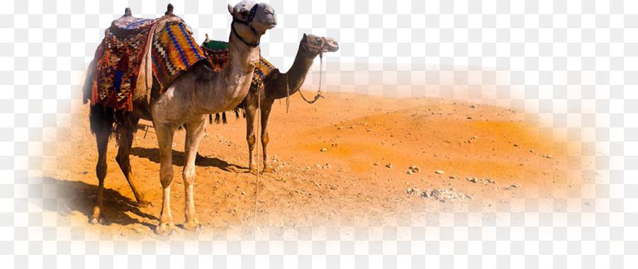 Camels In The Desert Png - Camel Morocco Desert   Camel Png Clipart, Transparent background PNG HD thumbnail
