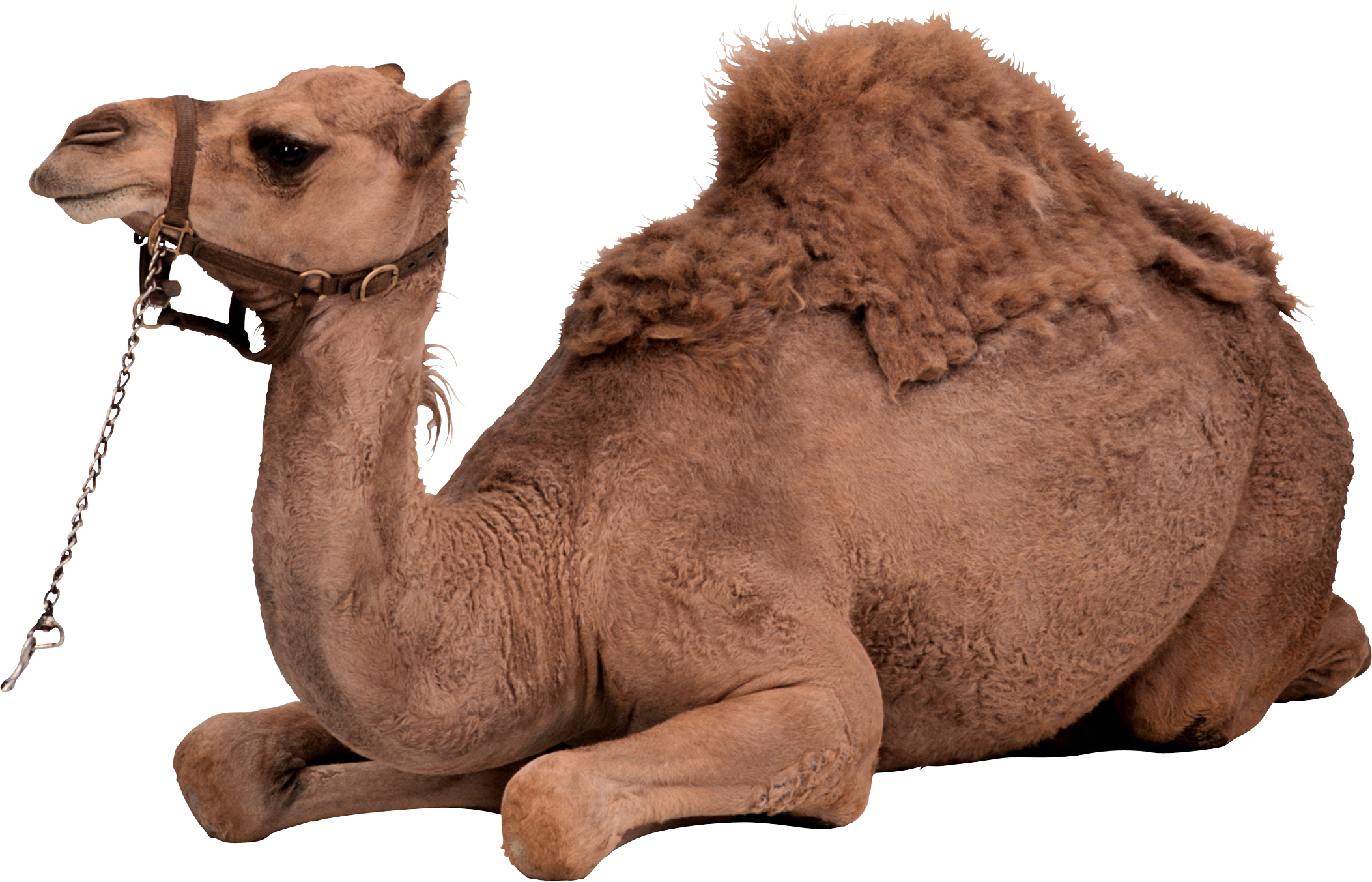 Camels In The Desert Png - Camel Png, Transparent background PNG HD thumbnail