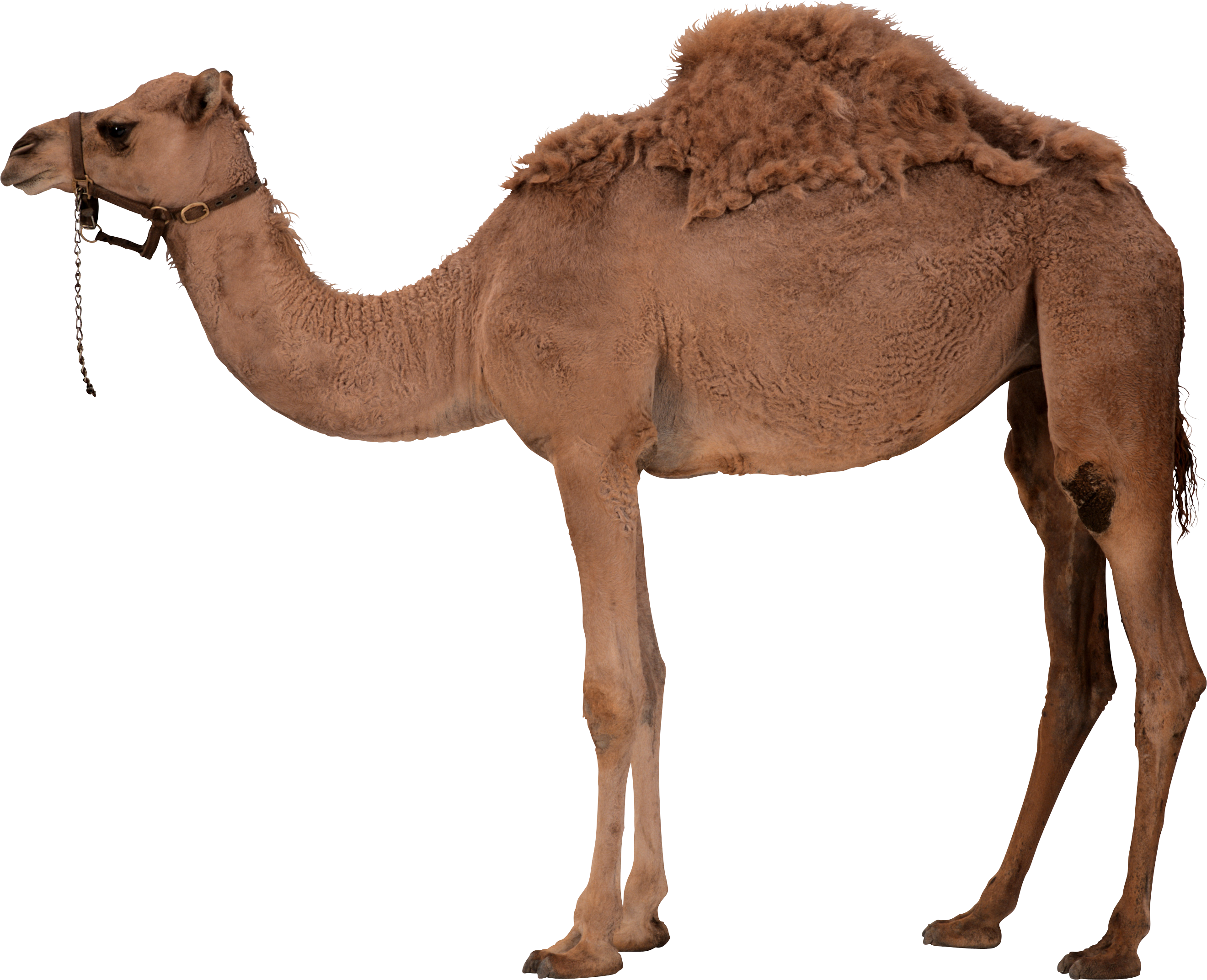 Camels In The Desert Png - This High Quality Free Png Image Without Any Background Is About Camel, Desert, Desert, Transparent background PNG HD thumbnail