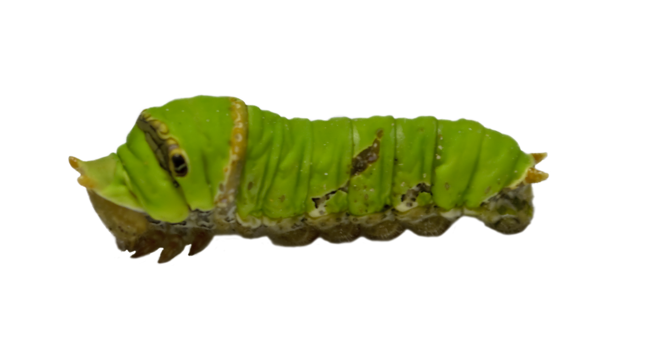 Caterpillar Stock By Mrhighsky Caterpillar Stock By Mrhighsky - Caterpillar, Transparent background PNG HD thumbnail