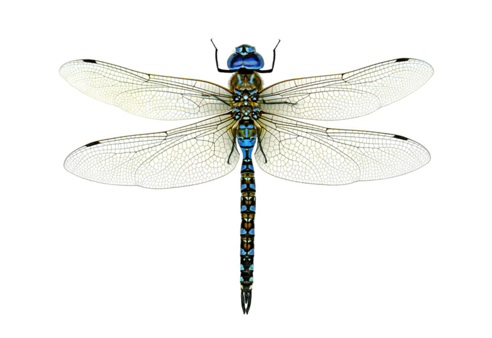 Chasing Dragonflies And Damselflies | Audubon - Dragonfly, Transparent background PNG HD thumbnail