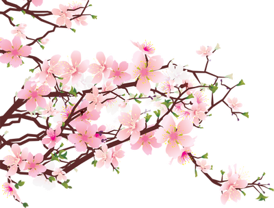 Cherry Blossom PNG HD