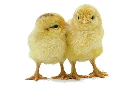 Chick PNG