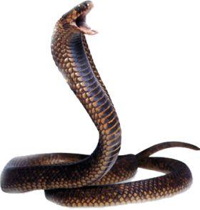 Cobra Snake Png Image, Free Download Picture | Állatok2 | Pinterest | Cobra Snake And Snake - Snake, Transparent background PNG HD thumbnail