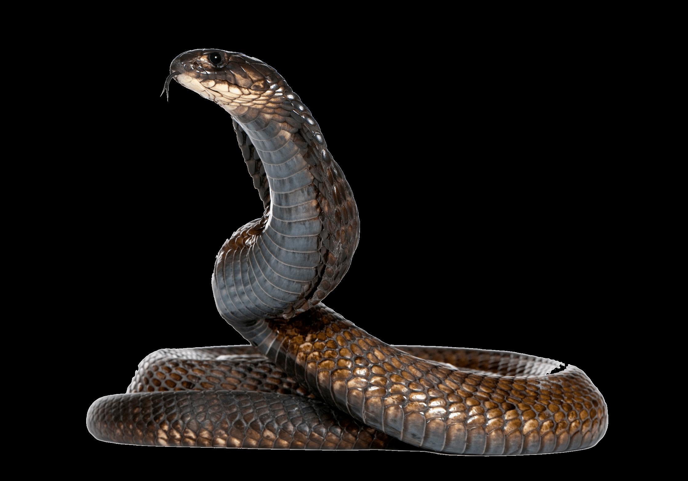 Cobra Snake Png Image Png Image - Snake, Transparent background PNG HD thumbnail