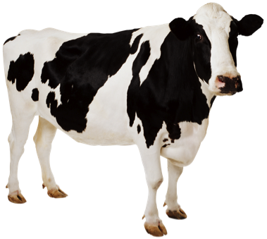Cow HD PNG