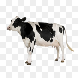 A Cow, Dairy Cow, Color, Dairy Cattle Png Image And Clipart - Cow Head, Transparent background PNG HD thumbnail