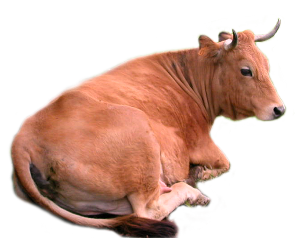 Cow Png Stock By Lubman Pluspng Pluspng.com   Cow Hd Png - Cow Head, Transparent background PNG HD thumbnail