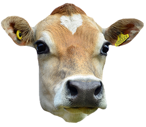 Png Cow Head - Cow Head, Transparent background PNG HD thumbnail