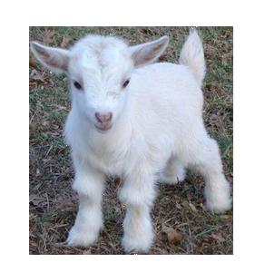 Cute Goat Png Hd - Cute Fluffy Png Transparent Goat Baby Goat .png Pngpetz, Transparent background PNG HD thumbnail