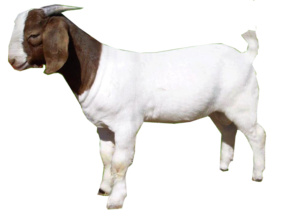 Cute Goat Png Hd - Goat Png Png Image   Goat Png, Transparent background PNG HD thumbnail