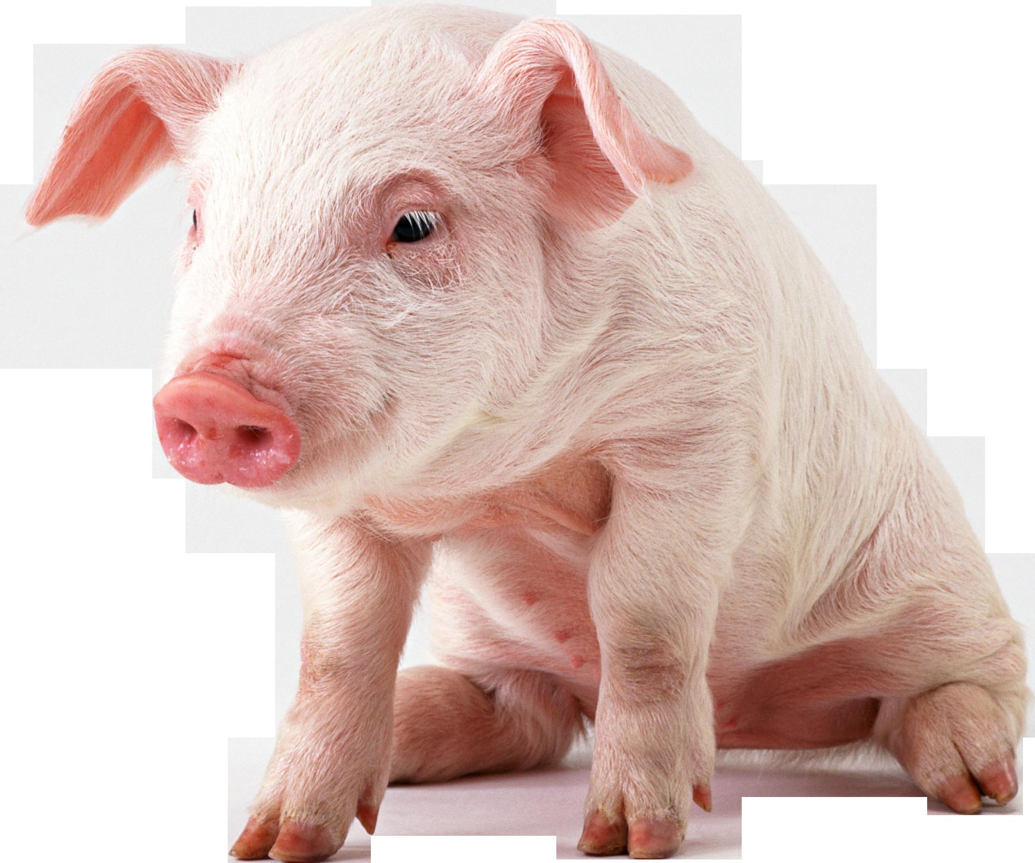 Cute Pig PNG HD