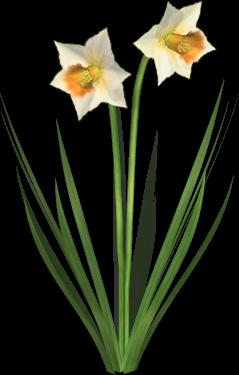 . Hdpng.com Daffodil 01.png Hdpng.com  - Daffodils, Transparent background PNG HD thumbnail