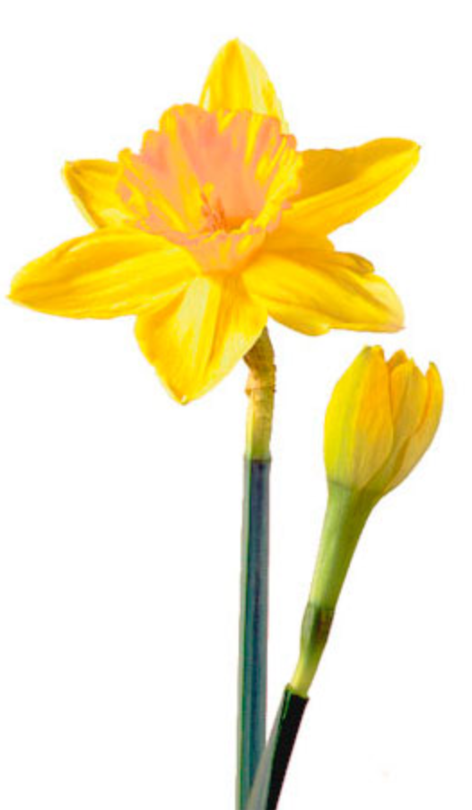 Daffodil Belle Fiori - Daffodils, Transparent background PNG HD thumbnail